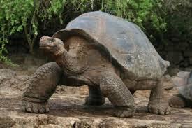 9 giant tortoise