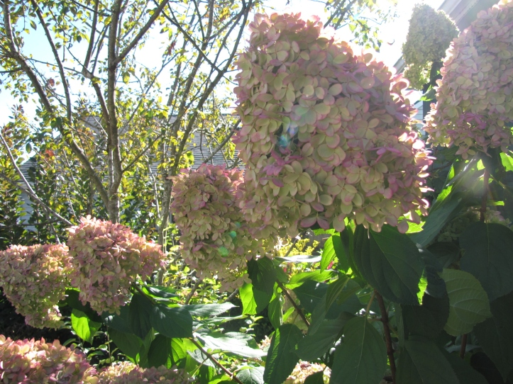 Limelight Hydrangea in September